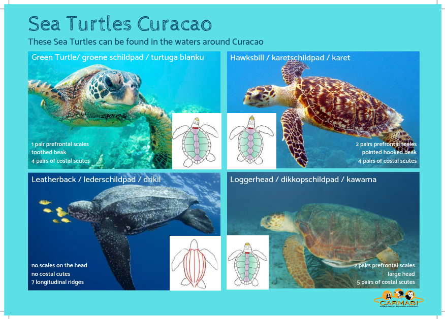 Sea-Turtles-Carmabi-Sheet